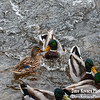 Ducks at the Red Mill  in Clinton NJ