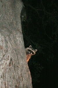 Peek a Boo!  One of our racoon buddies checking out our food selection.