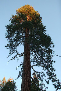 One of the mighty sequoias nearby