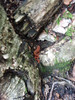 sweet newt