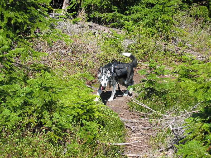 Riley Dawg coming up the trail with his back pack.    Riley Dawgs carry all their own food and water.
