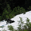 Rolling in the snowpack.  Usually, this trail cannot be hiked until mid to late July.   Another sign of upcoming draught.