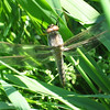 Dragonfly snoozing out by Lake Margeret