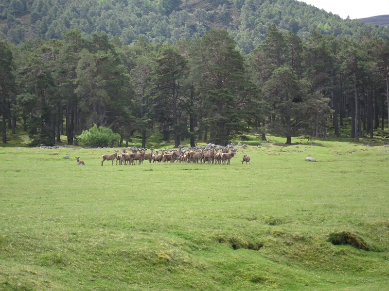 Deer in the Ballochbuie Forrest