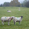 I loooooovvvvve ewe..................    (says the boy sheep to the girl sheep.  Note the boy sheep is wearing a harness that has a paint sprayer in it.).