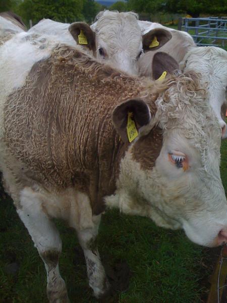 Inquisitive cows near Edzell