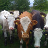 Inquisitive cows near Edzell
