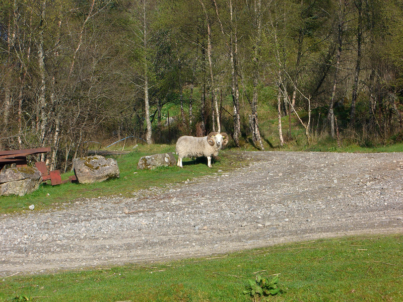 Baa ram - greetings from the local rams at Cougie Lodge