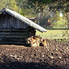 Cougie Lodge - pigs