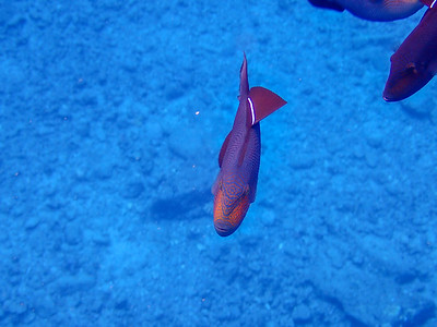 Maui-DurgonFish