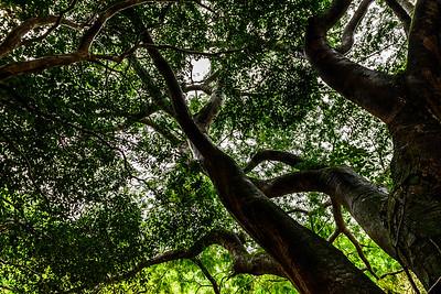 Maui-IaoNeedle-Trees
