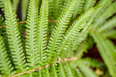 Maui-IaoNeedle-Ferns