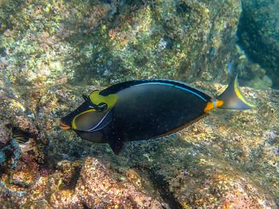 Oahu-Orangespine-Unicornfish