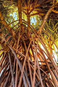 Oahu-TreeRoots