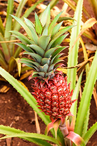 Oahu-DolePlantation-RedPineapple