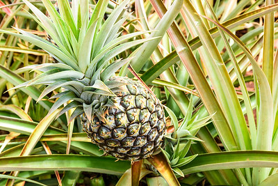Oahu-DolePlantation-Pineapple