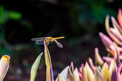 Oahu-MacroDragonfly