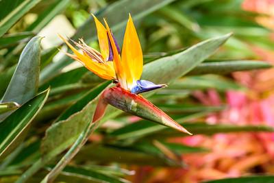 Oahu-DolePlantation-BirdofParadise1