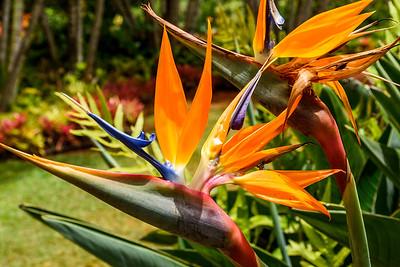 Oahu-DolePlantation-BirdofParadise2
