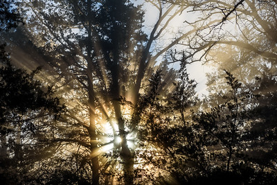 Sunrise-Fog-ThroughPines1