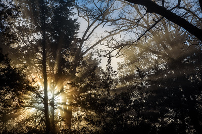 Sunrise-Fog-ThroughPines4