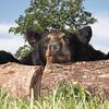 Rudi Pohl's Black Bear