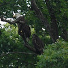 Adult Bald Eagle with young one.