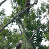 American Bald Eagle with young at Rough River Lake.