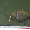 Turtle Fishing with Tube Bait