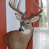 Chuck's 2007 Deer Mount