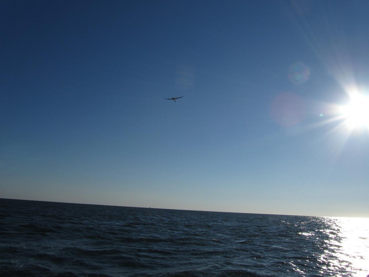 Big old bird hunting for sardines.