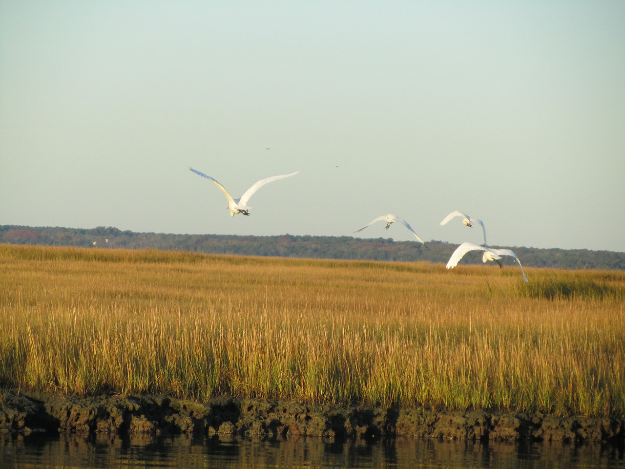 Egrets in the back bay. Mainland in the background.