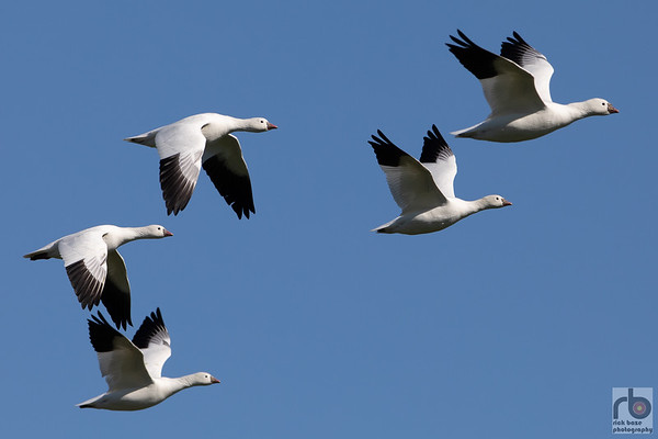 Snow Geese at Hagerman Wildlife Refuge