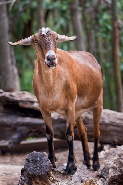 Goat Boy at Middleton Place