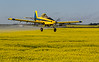 Air Tractor applying herbicides over a Canola field