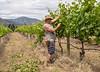 The Vineyard Worker