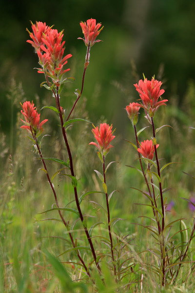 "Indian Paintbrush - Kananaskis Country <br /> <br />  Funny how it goes, most photographers including myself will approach flower photography with equipment suited to this type of photography. I had been shooting photos of widlife when I shot this photo from more than 50 feet away. What lens did I have on my camera you ask? - My 500mm!<br /> <a href=""http://ve6ab.blogspot.com/2008/07/photoshop-101.html"">http://ve6ab.blogspot.com/2008/07/photoshop-101.html</a>"