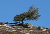 Limber Pine -<br /> <br /> These pines are found along the eastern slope of the rockies in areas like the Whaleback region overlooking the Livingstone Range where I shot this photo
