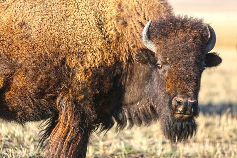 The Plains Bison