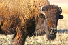 The Plains Bison