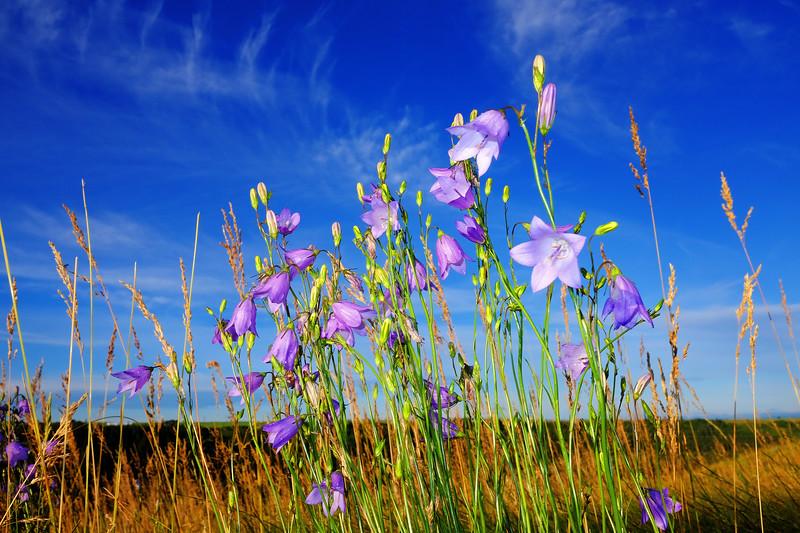 Prairie Bluebells