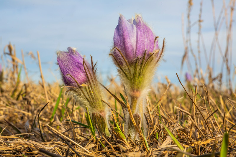 The Prairie Crocus