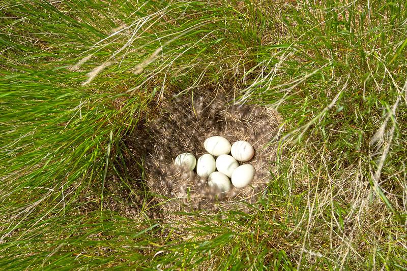 Mallards Nest