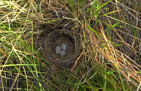 Western Meadowlark in its Prairie Home.