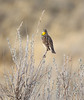 Western Meadowlark in his Prairie Home