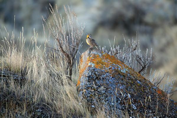 Western Meadowlark<br /> <br /> I love this environment photo, as it shows this Western Meadowlark in his prairie home.