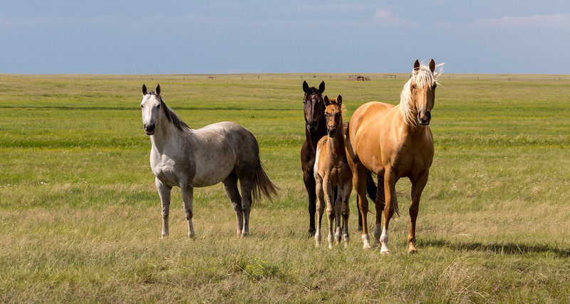 Wild Horses on The Great Plains