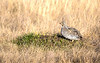 Sharp Tailed Grouse at Home