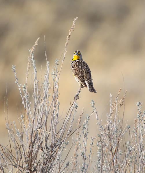 Western Meadowlark in his Prairie Home