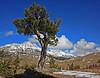 The Boundary Pine